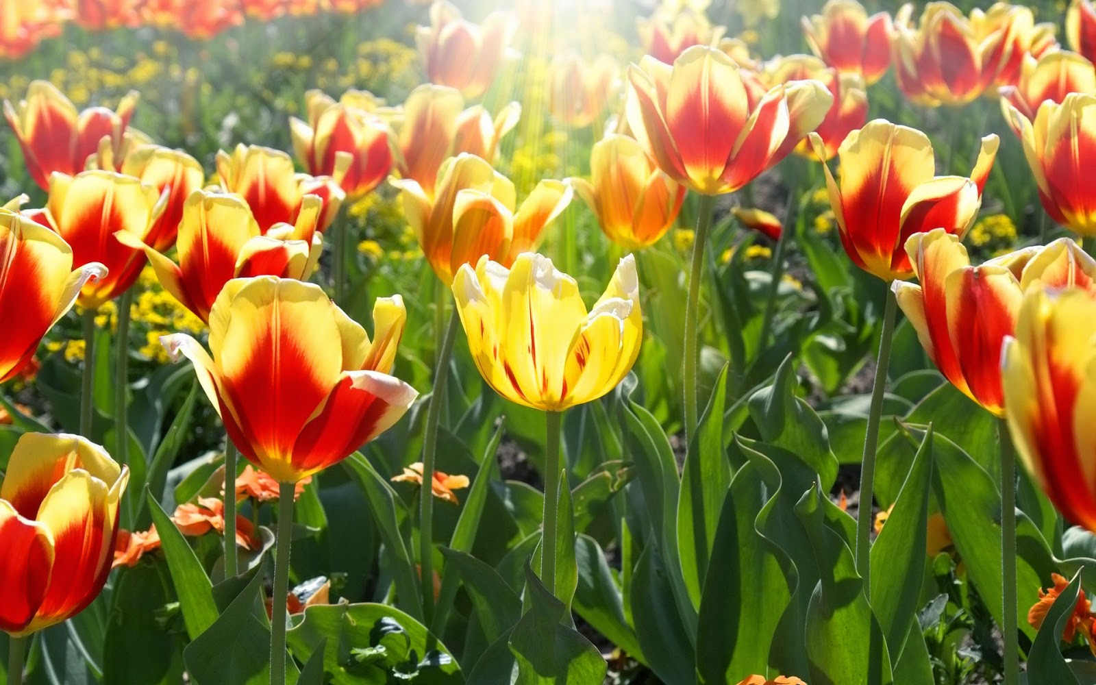Rood gele tulpen met zonnestralen in de lente