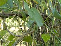 Brotowali (Tinospora Crispa)
