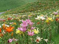 約50種の球根35万球、250万輪の色とりどりのゆりが咲き誇っている