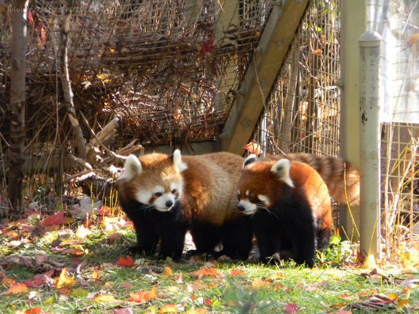 toronto zoo, zoo, animals, canada, red pandas, playing, autumn