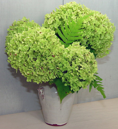 yellow color wallpapers green hydrangeas