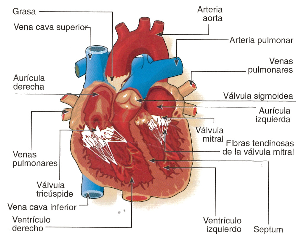 Hermosa Corazón Etiqueta Del Diagrama De La Anatomía Interior Modelo ...