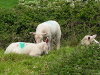 As Ovelhas Coloridas da Irlanda -  The Colourful Sheeps in Ireland