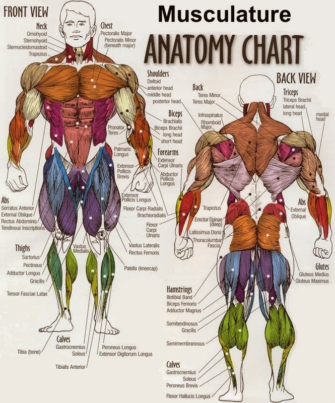 otot-otot pada tubuh manusia