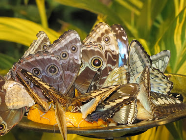 Butterflies Feeding on Oranges