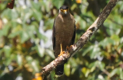 Crested Serpent-Eagle (Spilornis cheela)