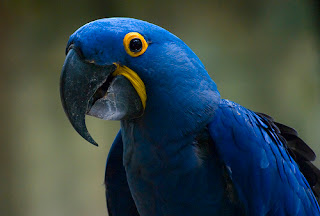 Hyacinth Macaws picture