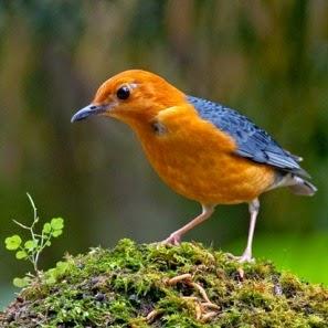 Download Suara Terapi Untuk Burung Anis Merah, untuk Mengurangi Stres pada Burung Anis Merah