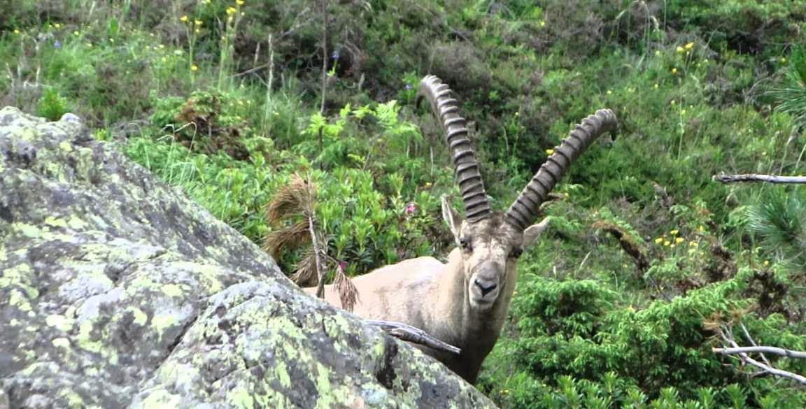 Ibice alpino y biologia de los ecosistemas