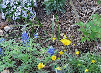 bluebonnets, Four-nerve daisy, Annieinaustin