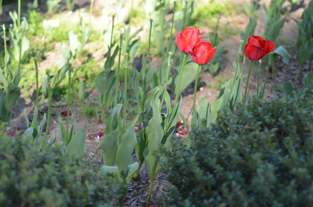 Red Tulips at the U.S. Treasury Department