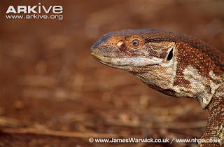 White throated monitor