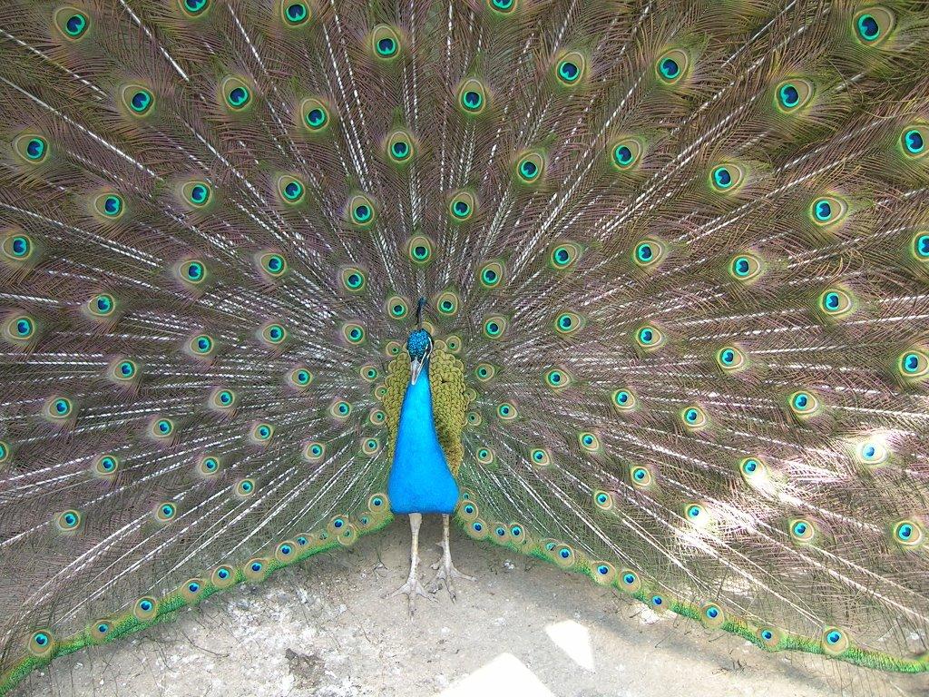the peacock s feet