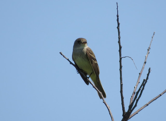 Empidonax Species - Jamaica Bay, New York