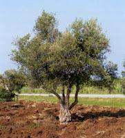 gambar pohon zaitun