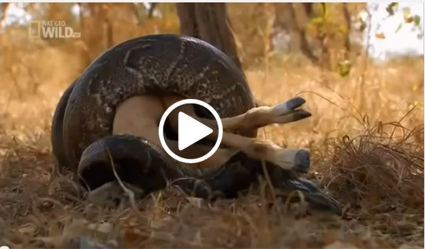 Anaconda Snake Eating Cow