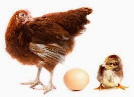 Jual Doc Bibit Ayam Rasa Petelur Harga Rp5000 Ekor