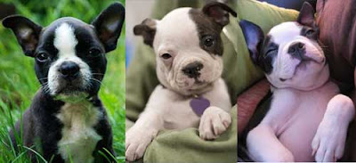 Funny Boston Terrier Puppies
