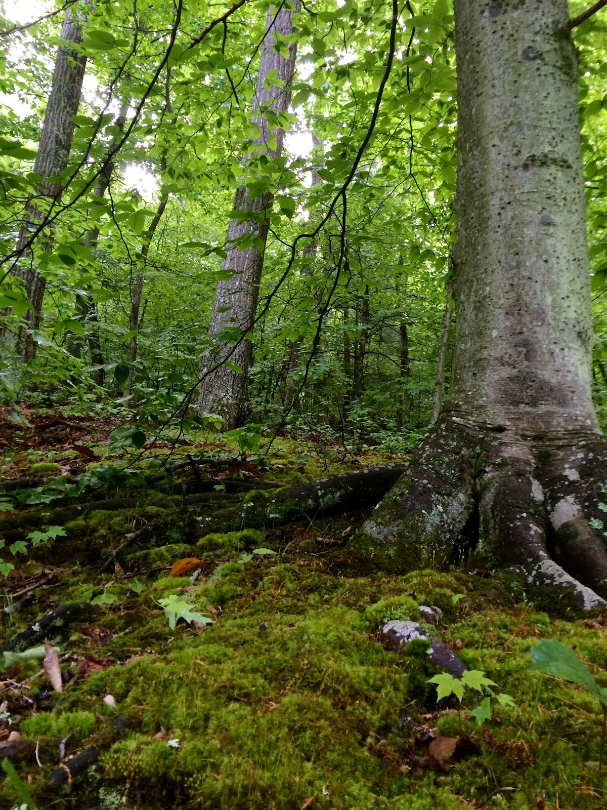 Beech Maple Forest ~ Ecology of appalachia a summer in the woods part