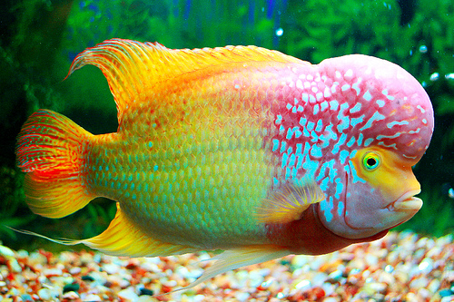 Flowerhorn the hybrid cichlids types of flowerhorns by for Fish farms near me