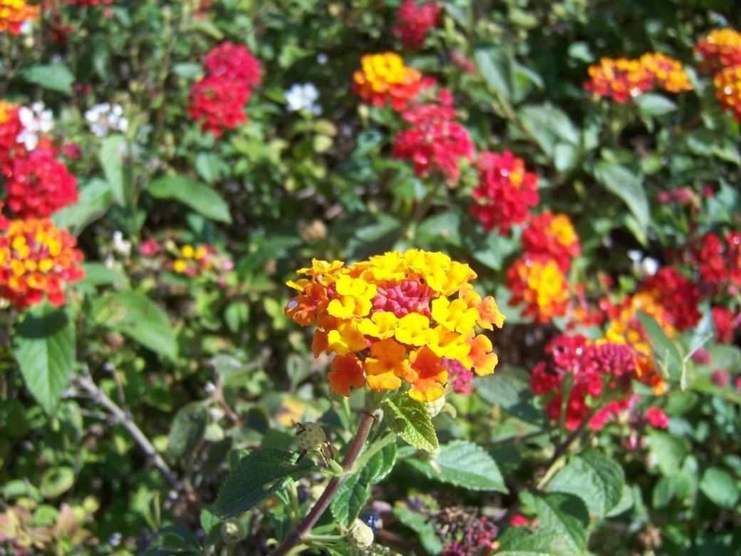 The 2 Minute Gardener Lantana Lantana camara