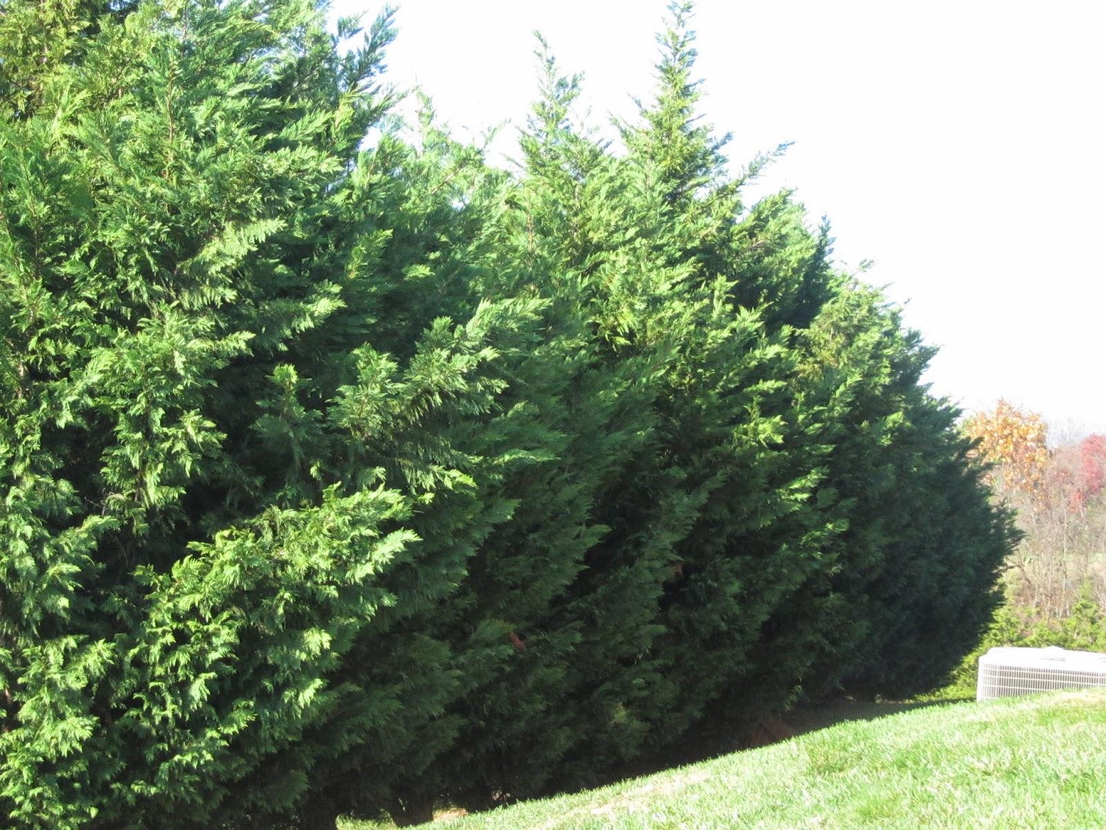 Leyland cypress mature