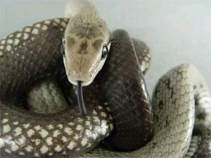 Nag Panchami to worship snakes.