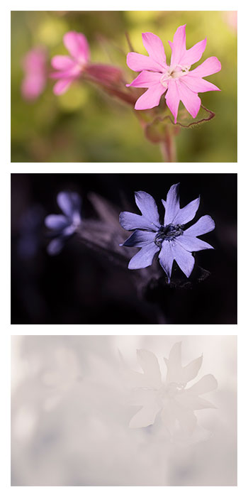 Silene dioica (Red Campion) female flower photographed in visible light (top), ultraviolet (middle), and infrared (bottom)