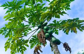 Memanfaatkan daun pepaya sebagai pakan tambahan untuk ayam