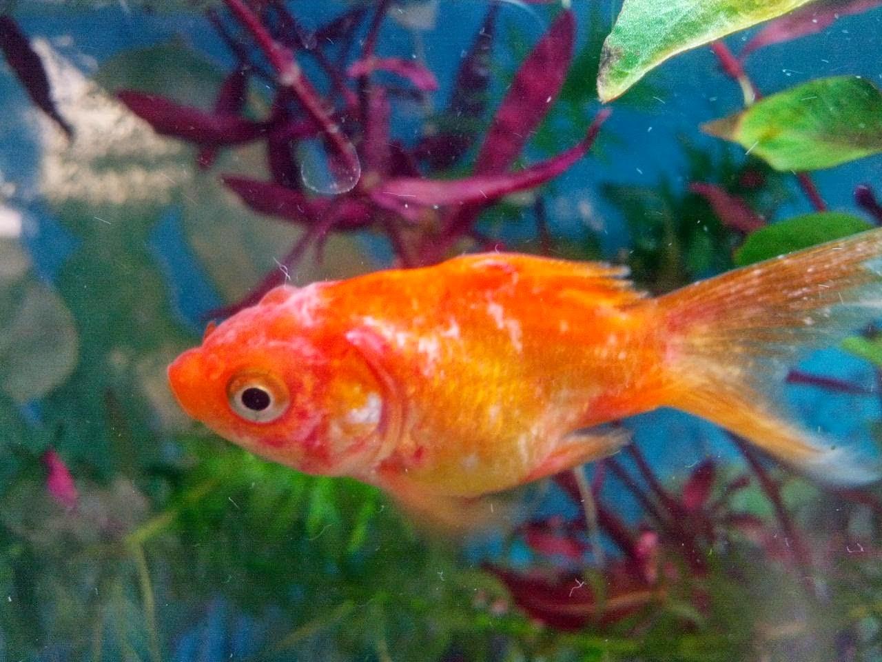 Acuariofilia total enfermedades y remedios de peces for Enfermedades de peces goldfish
