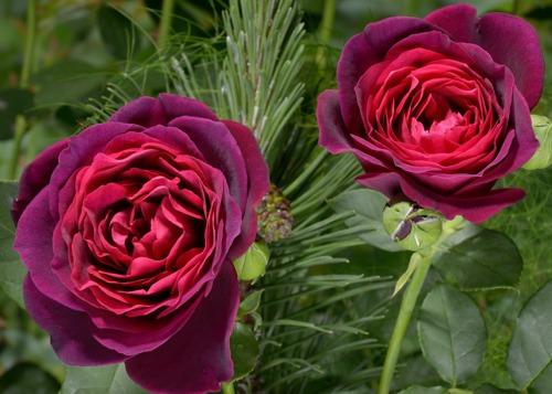 Astrid Grafin von Hardenberg  rose сорт розы фото