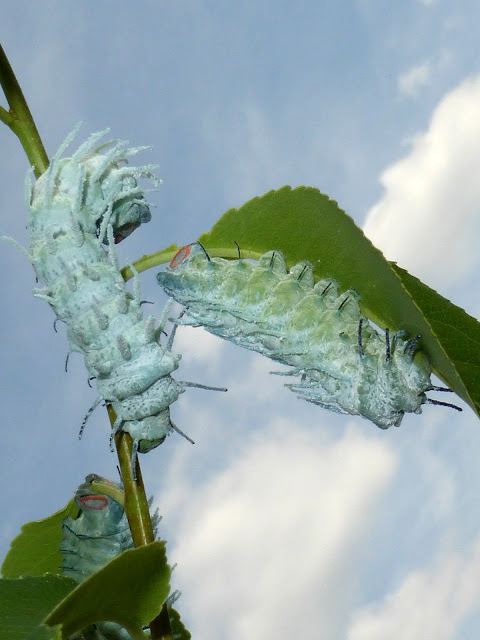 Attacus atlas caterpillar