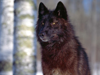 Black Wolf HD Wallpapers, black wolf in jungle,
