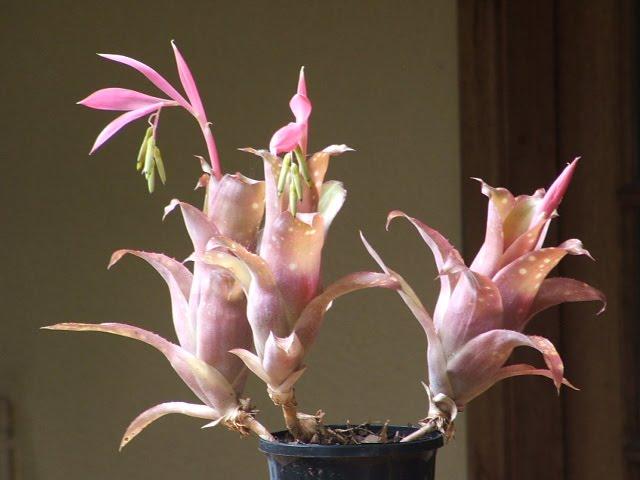 Billbergia pink piglet
