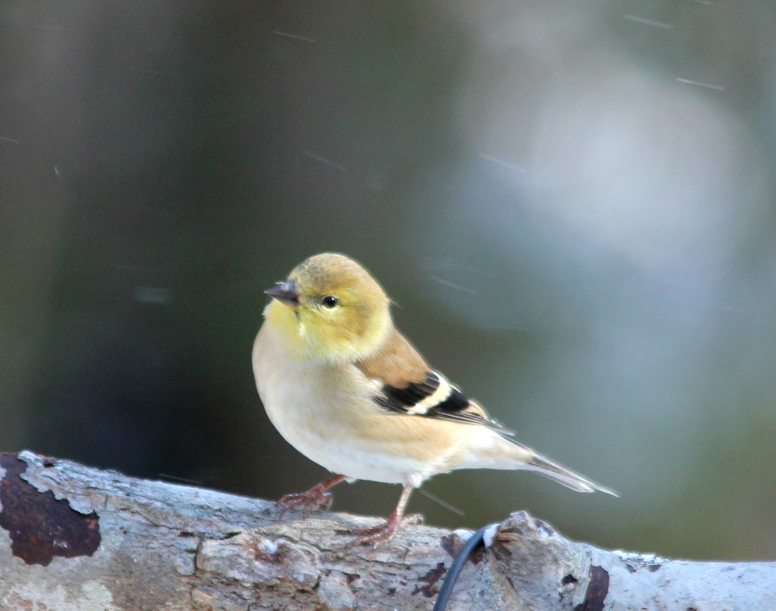 Are There Goldfinches On Long Island