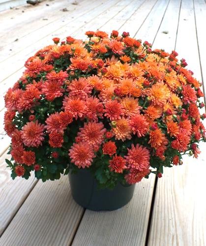 Fall Flower Mums