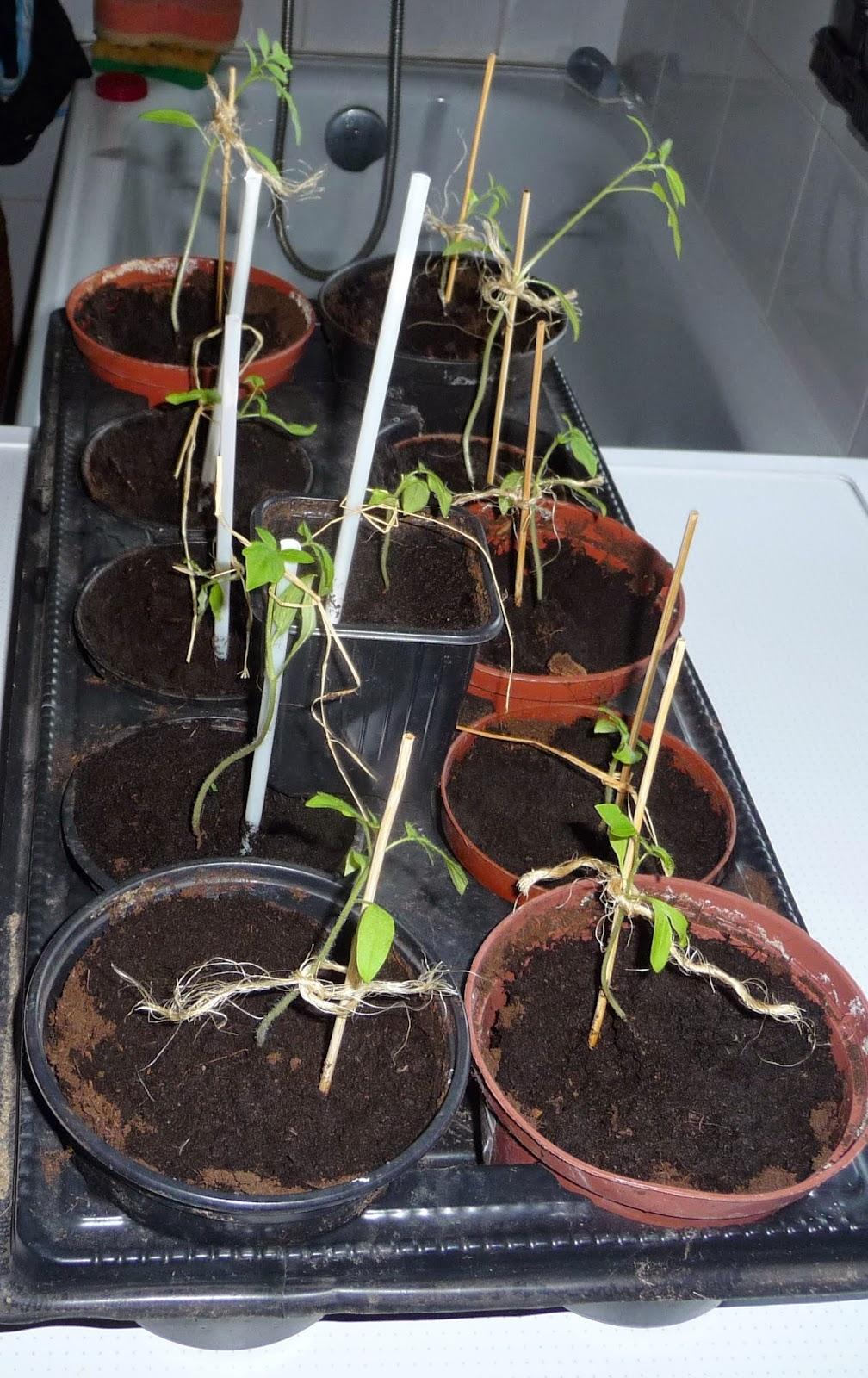 jak pikować pomidory