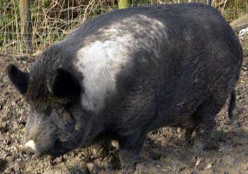hybrid animal - iron age pig