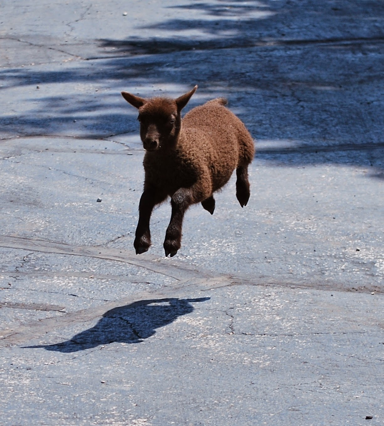 Leika the Shetland lamb