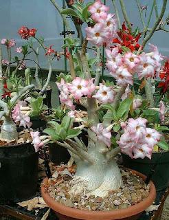 Adenium atau Kamboja Jepang