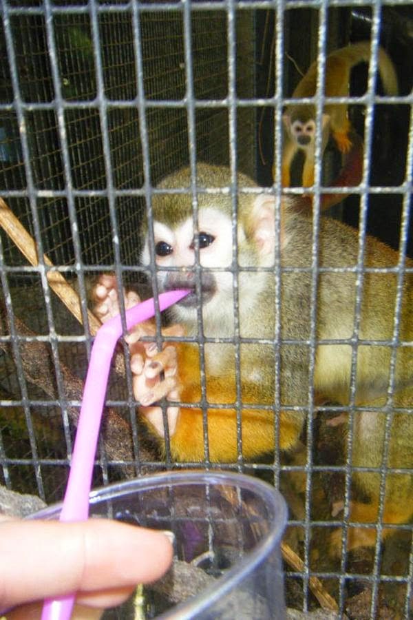 Monyet lagi minum alkohol