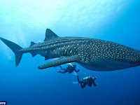 Hiu Paus (Whale Shark), Hewan Langka Yang Bisa Hidup 100-150 Tahun