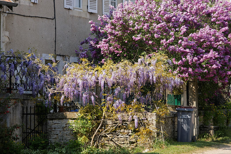 Glycine et lilas for Maison lilas