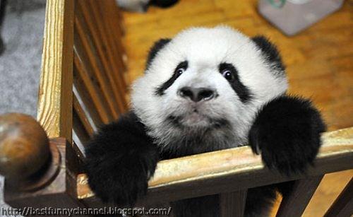 Charming panda.