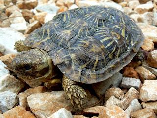pancake tortoise