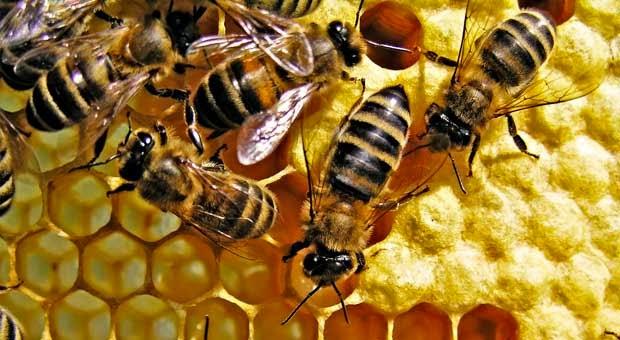Proses Lebah Membuat Madu