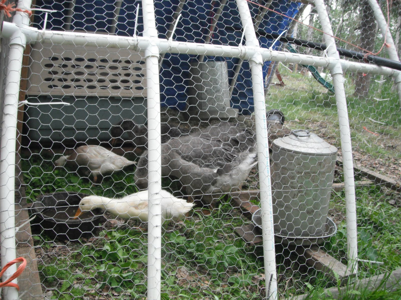 Wild Roots Homestead: Rainy days, kids, geese and the garden