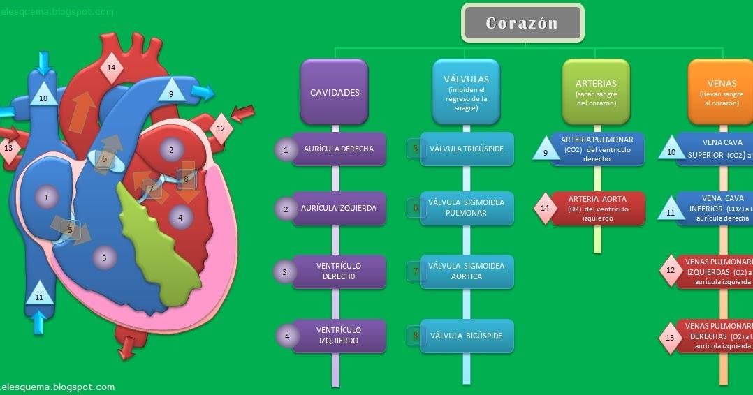 El Corazón | Esquemas, diagramas, gráficos y mapas conceptuales.