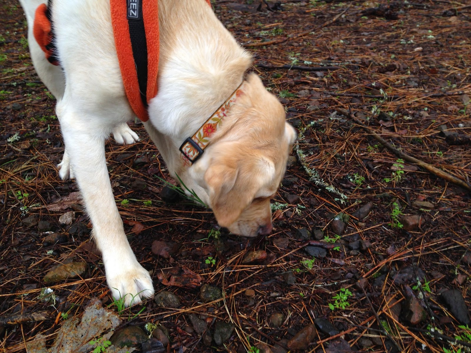 Gucci (yellow Lab) wearing her orange harness sniffs low to the ground in the forest.