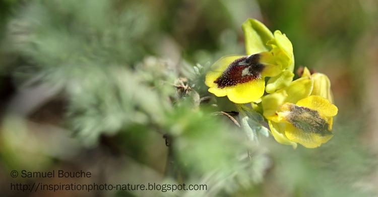 flou dans le bokeh en macro ophrys jaune